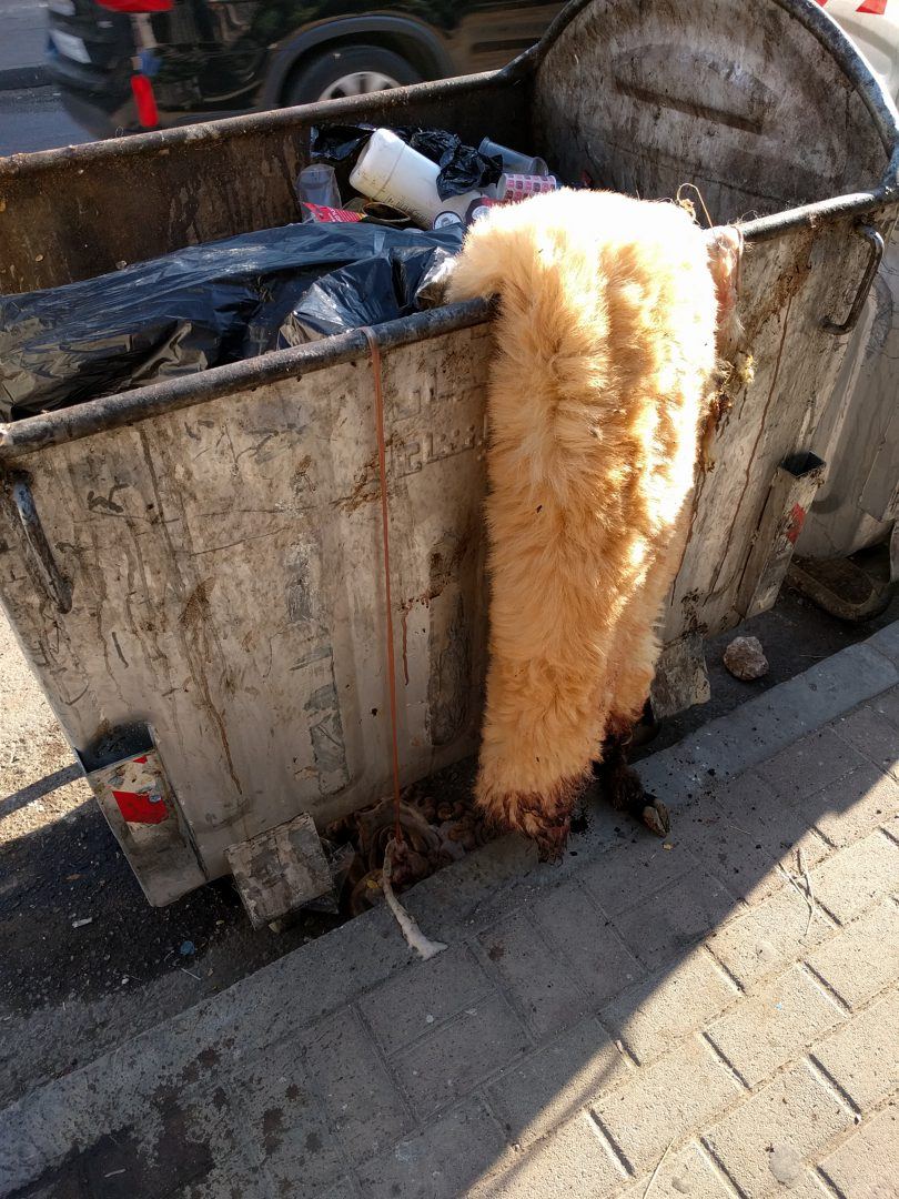 Sheep carcass lazily discarded in neighborhood dumpster