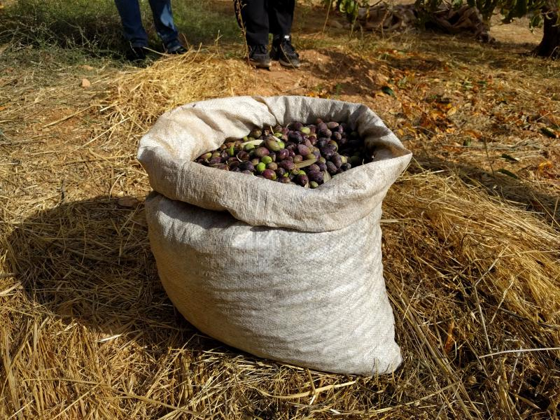 How many olives can ten amateurs pick in thirty minutes?